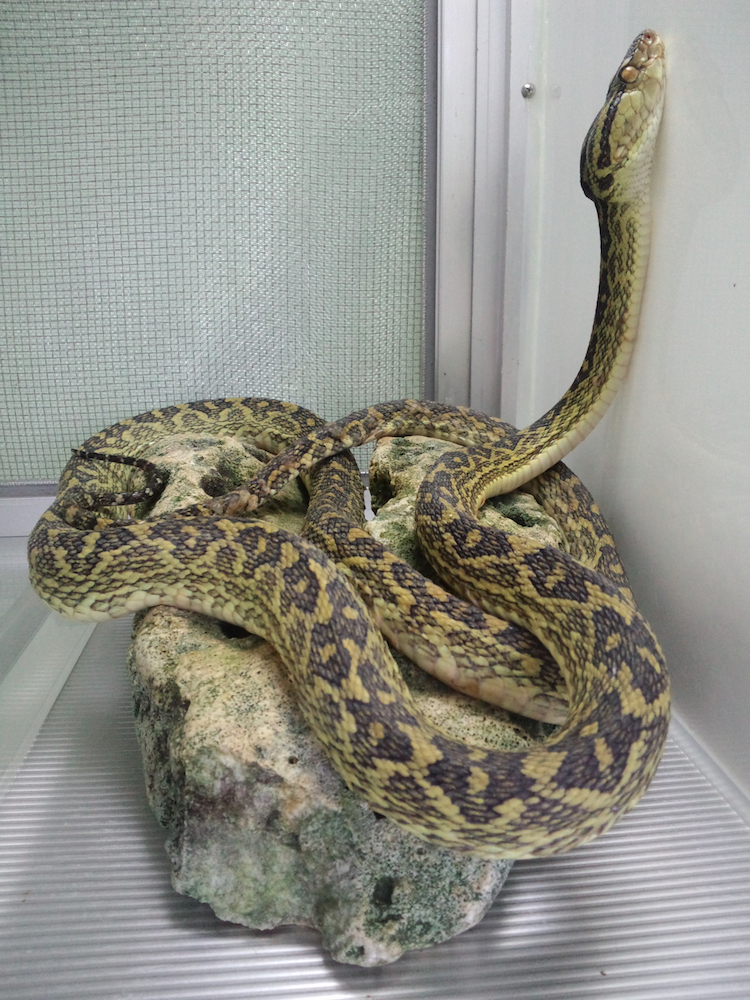 A habu snake in the Habu Park at   Okinawa World.