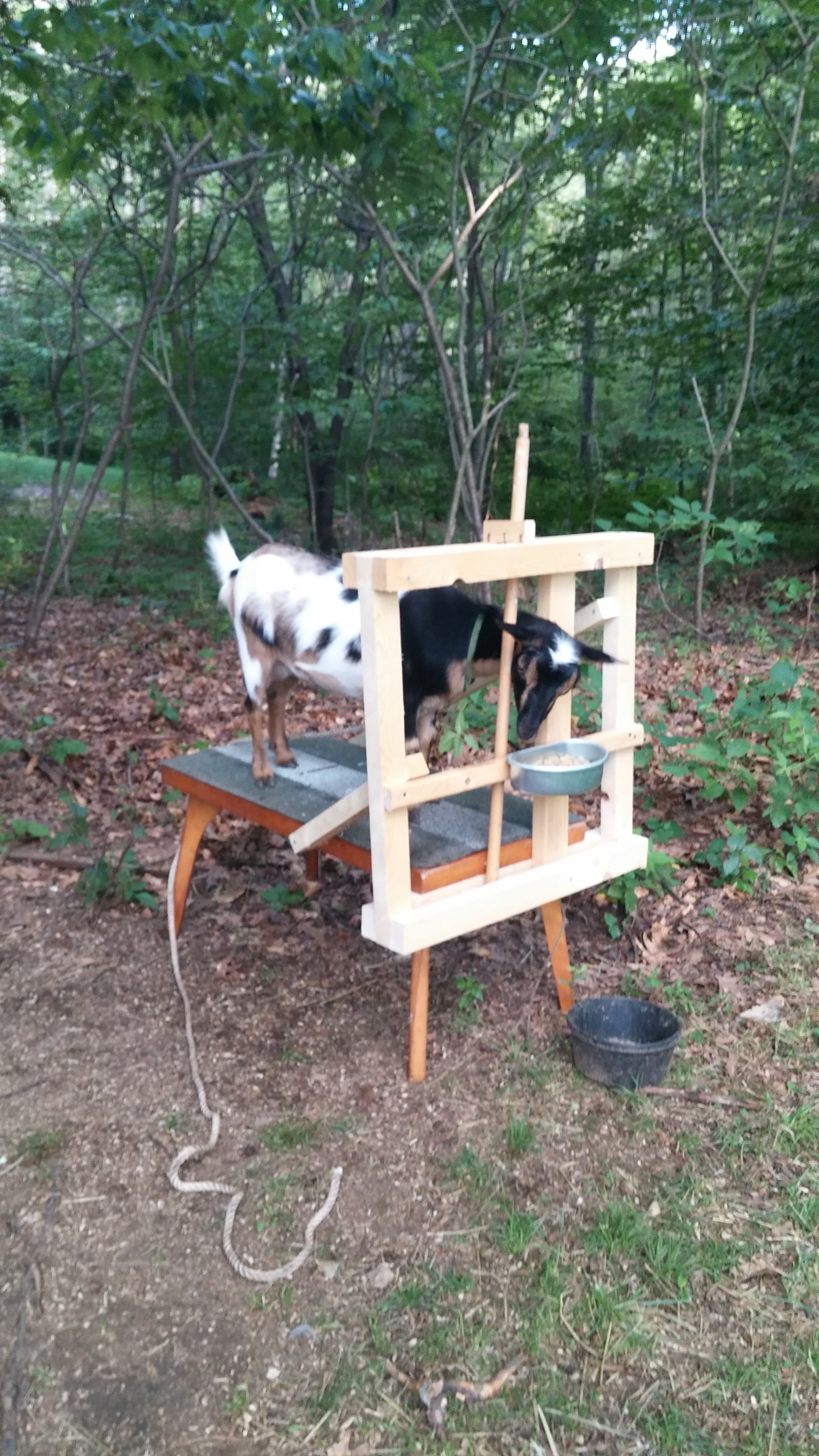 Honeycomb testing out my DIY milking stand last summer.