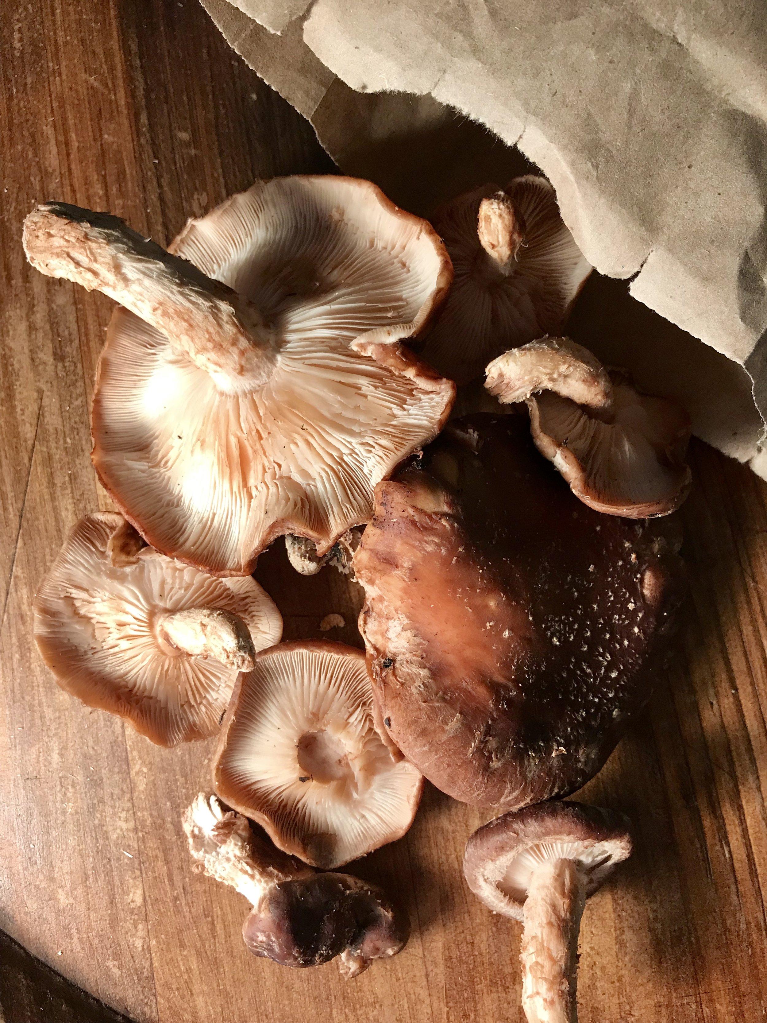 Shiitake Mushrooms  / Grandview Farms
