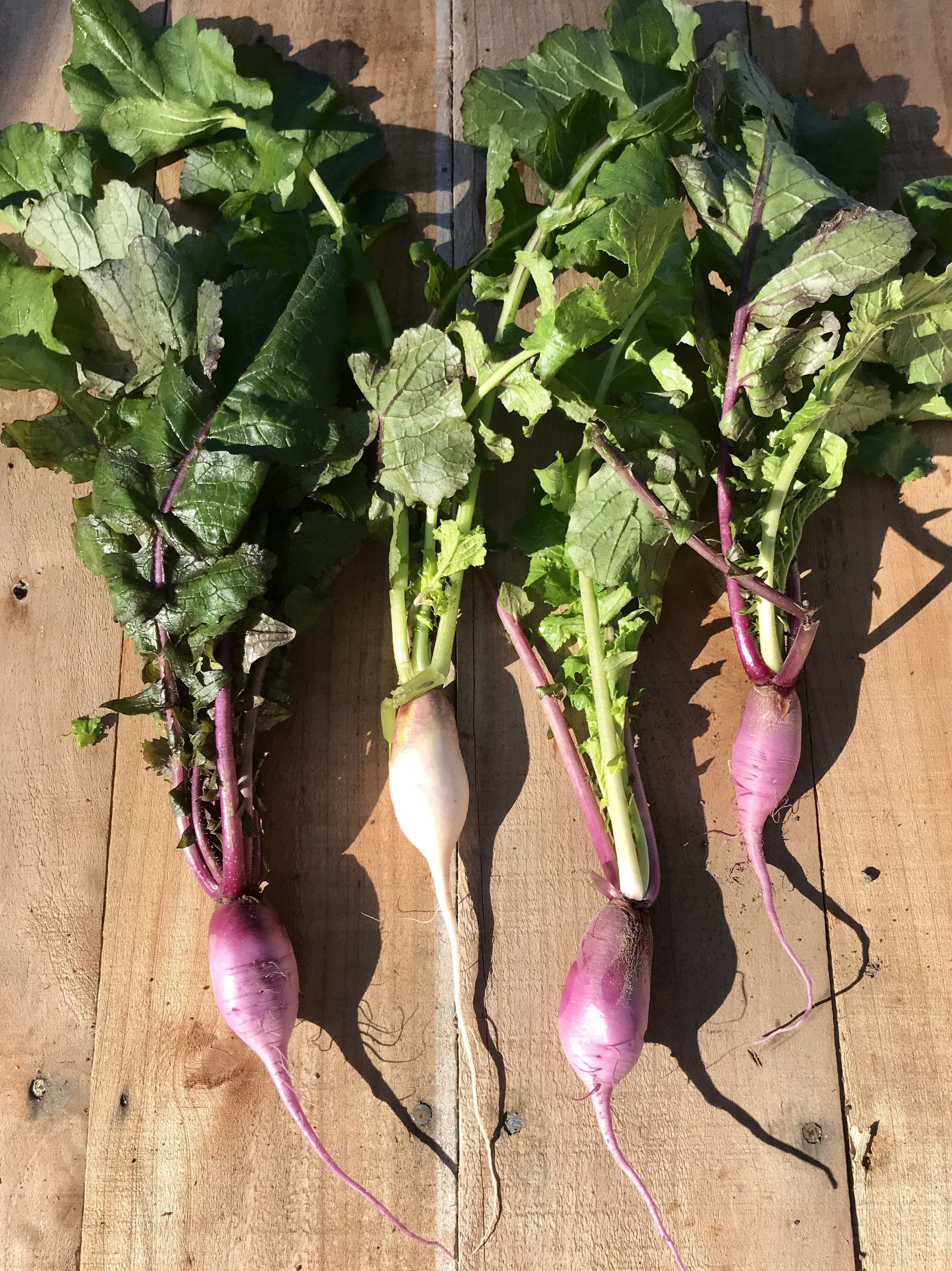 Radishes /  Stone Hollow Farmstead
