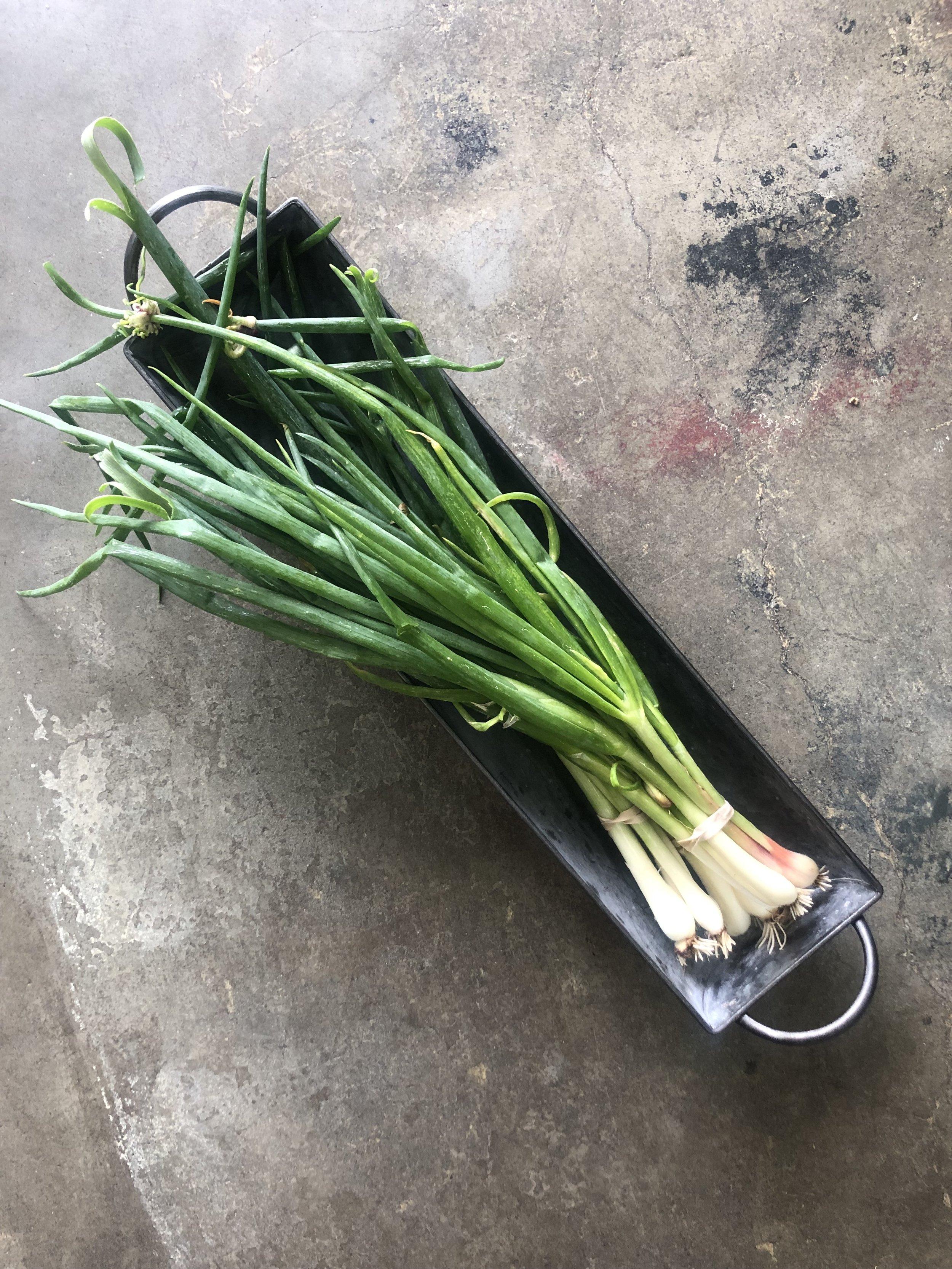 Egyptian Walking Onions  / Stone Hollow Farmstead - Harpersville, Alabama