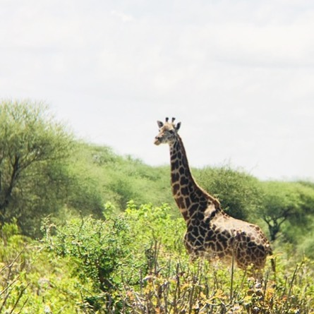 Giraffe spotted in Tanzania! What wildlife would you be most excited to see on safari?  #curriecotravels #safari