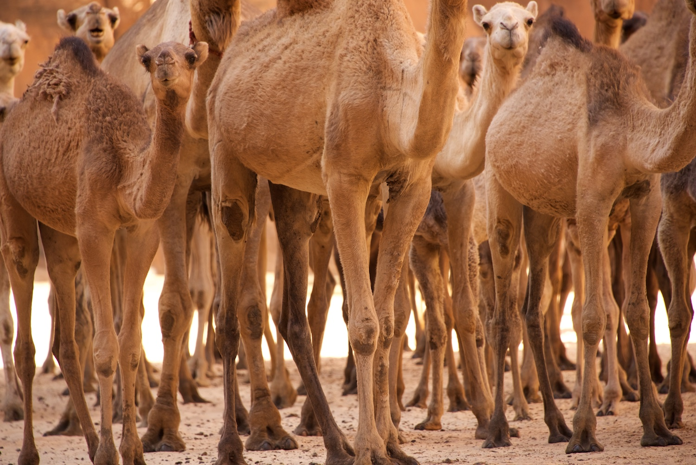 camel_walk.jpg