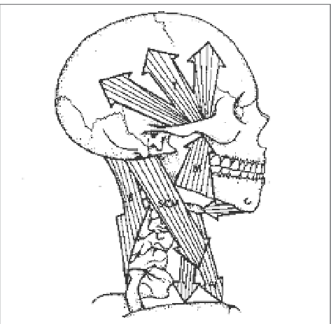 Muscular-balance-of-head-and-neck-M-masseter-muscle-E-neck-extensors-muscle-SCM.png