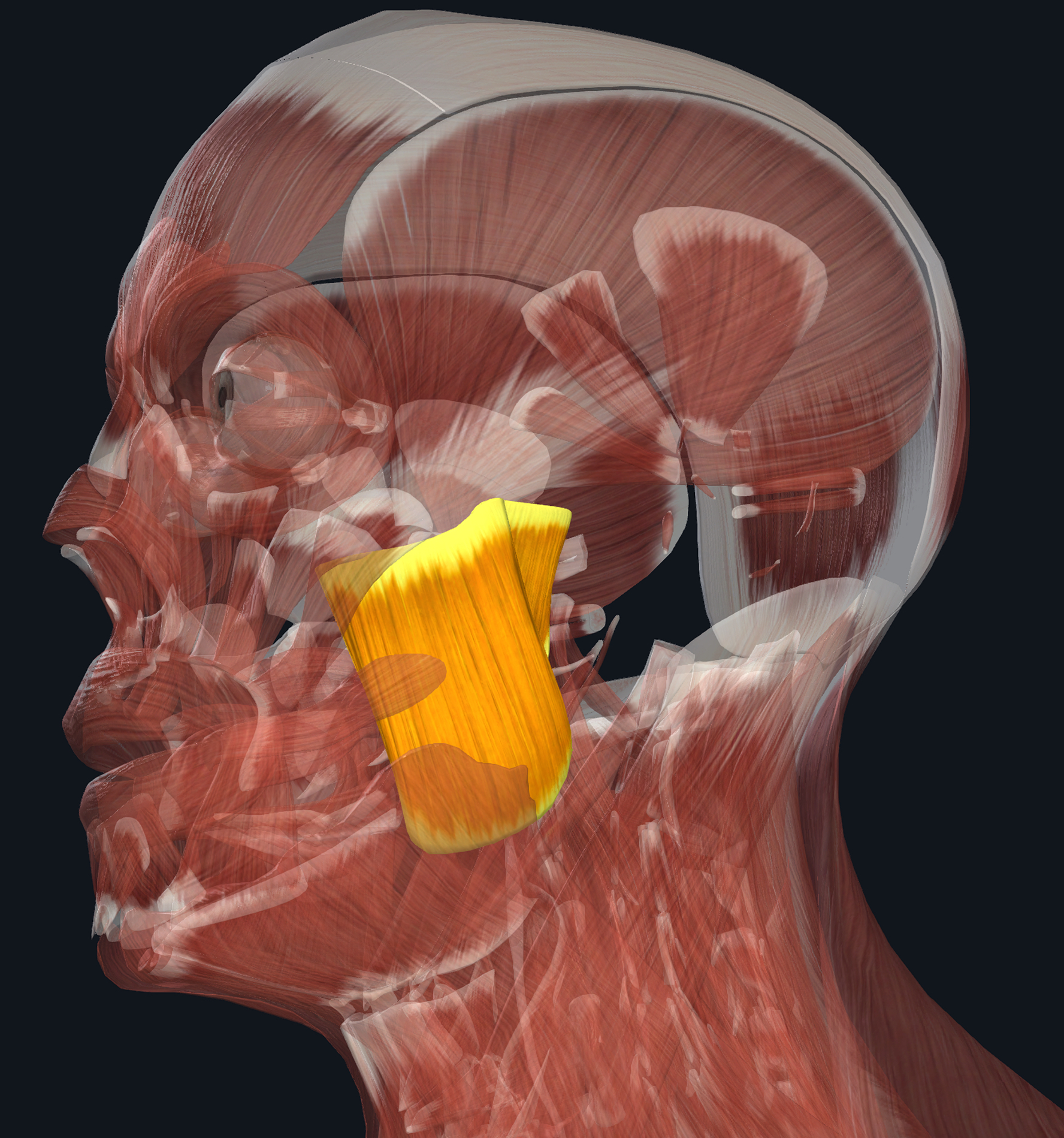 In Orange: Superficial and Deep Masseter Muscles