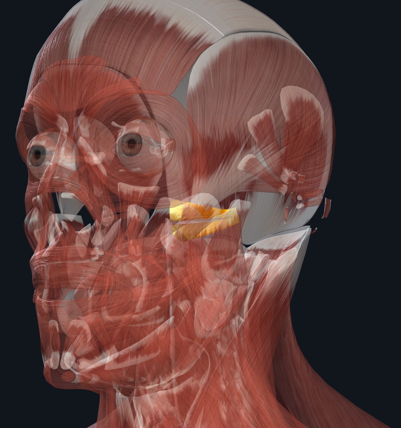 In Orange: Lateral Pterygoid Muscle