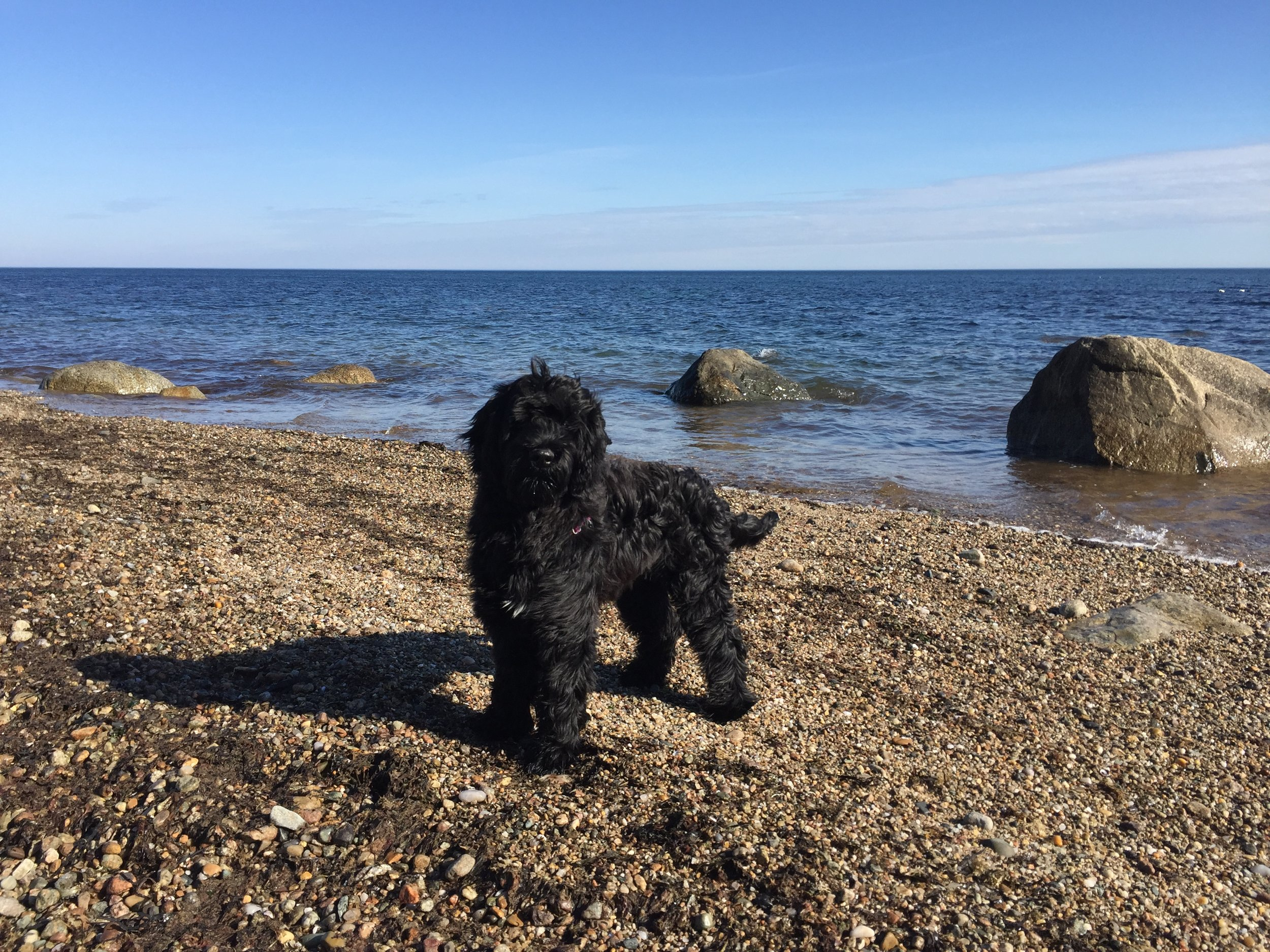 Zola, OPAK Ambassador and Plankton Collector-in-Residence - Zola is a Portuguese Water Dog and a loving member of the OPAK Team. You will find her hanging out at OPAK events, swimming on the beaches of Cape Cod and trying to conduct plankton tows by herself.