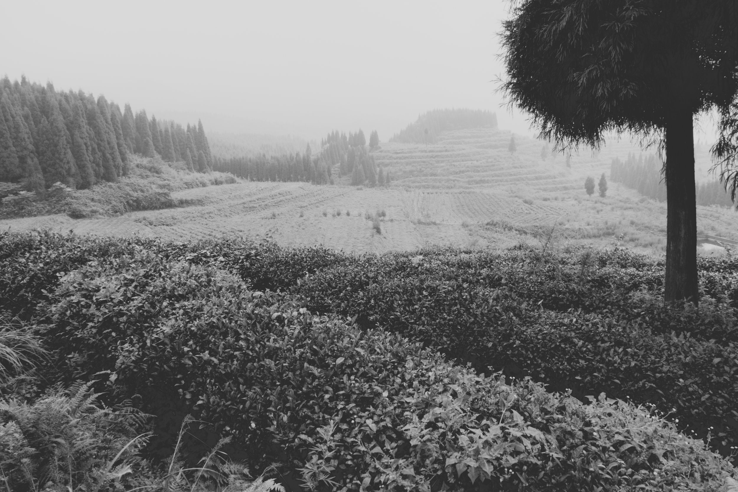 Fields on Mr Deng's tea farm