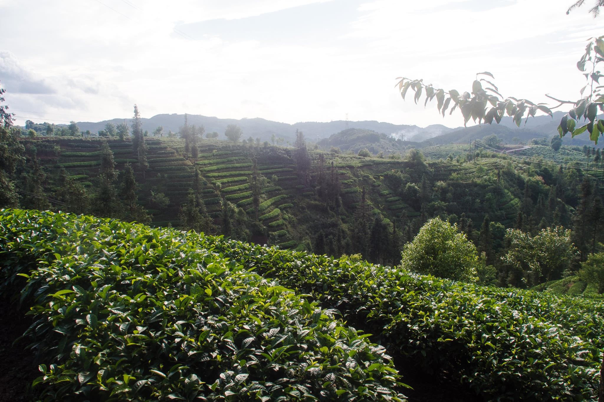 The tea hills at Pu'er, where a lot of our black teas are from