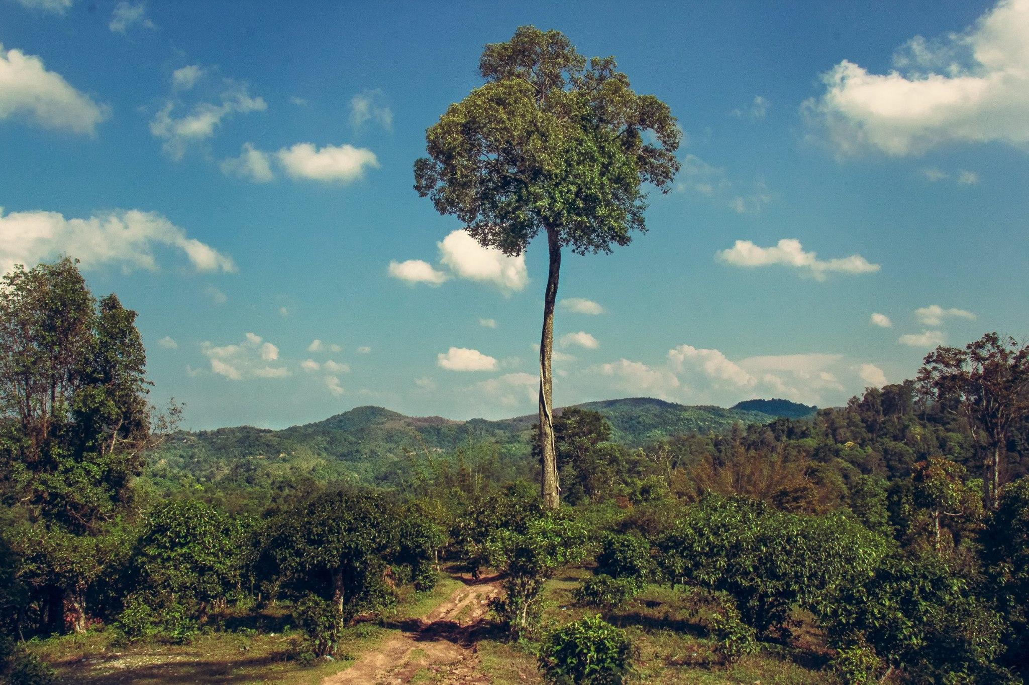 Old tea trees on Jingmaishan
