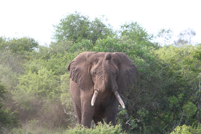elephant-crisis-tusks-nuvory-nini-wearable-art-jewelry-