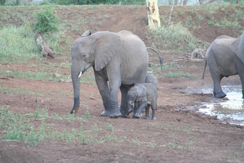 elephant-crisis-poaching-africa-CITES-virunga-great-african-census-bloody-ivory-trade-reduce-demand-jewelry-cdg-couleursdegeraldine