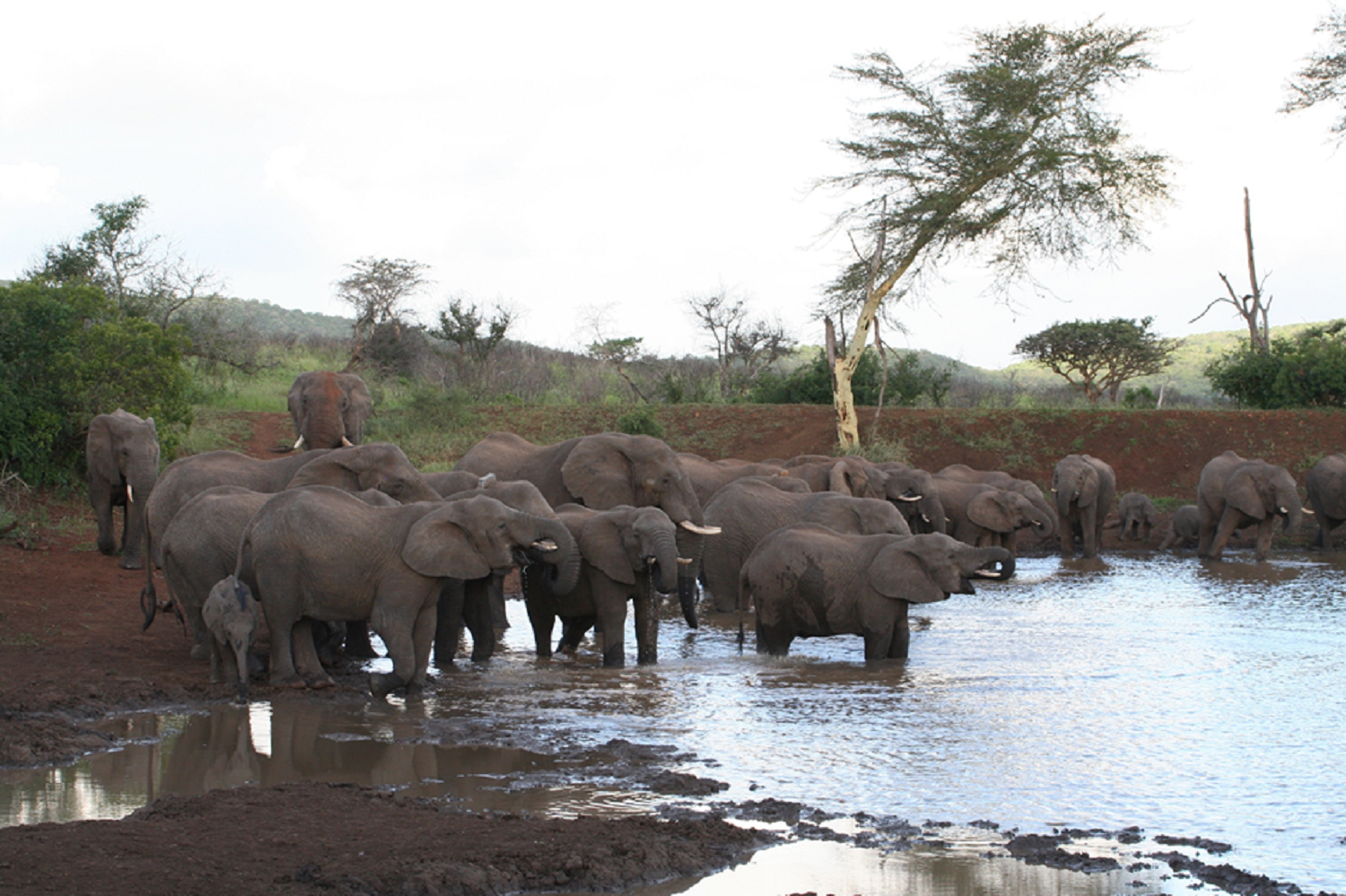 elephants-luxury-fashion-jewelry-jewellery-wearable-art-poaching-CITES-beautiful, compassionate-sustainable-natural-