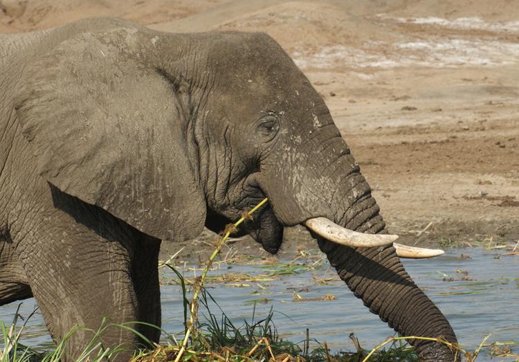 elephants-tusks-poaching-ivory-nuvory-fashion-art-wearable-luxury-conservation-sustainable-tree-ivory-rainforest