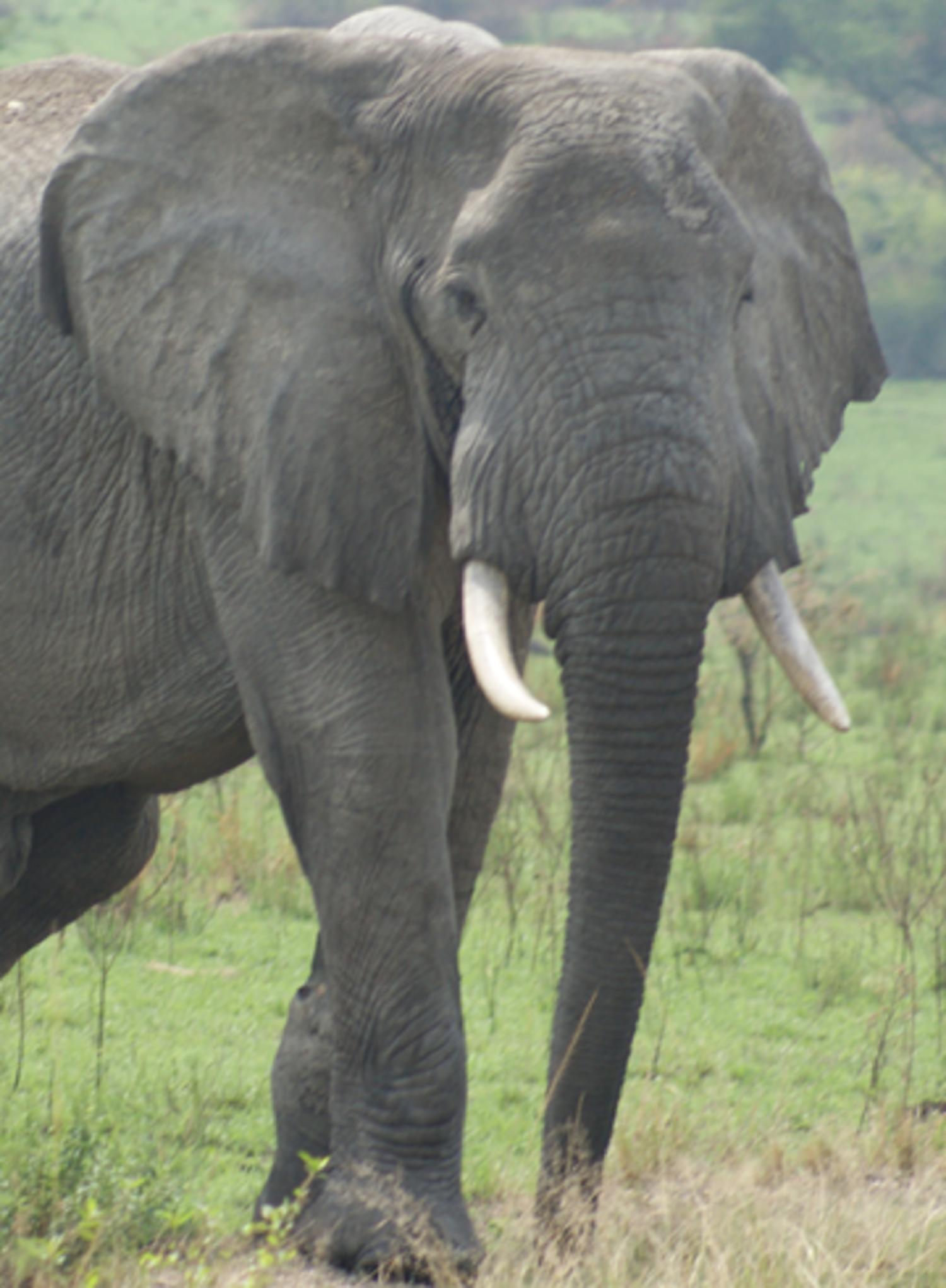 elephant-poaching-tusks-nuvory-nut-ivory-madeinitaly-goldsmith-fashion-art-luxury-brands