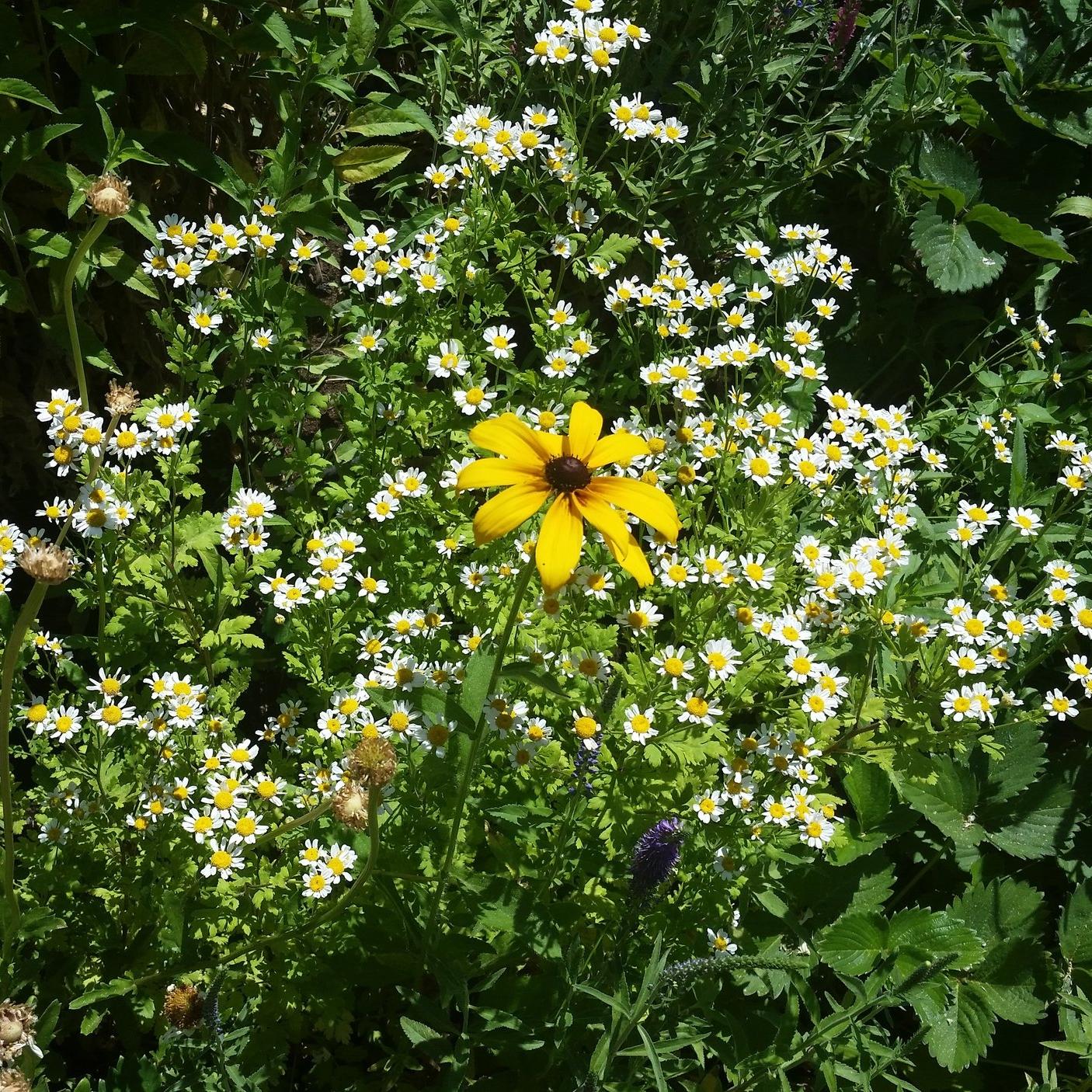 White Yard Flowers.jpg