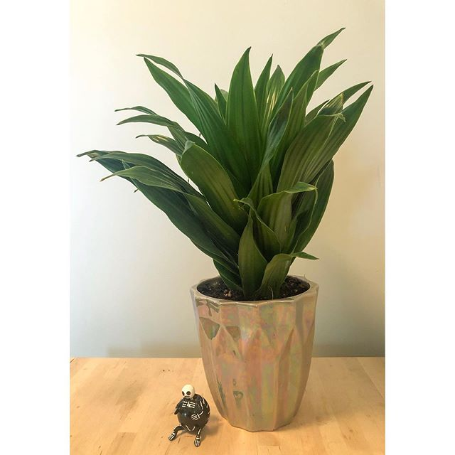 another day, another picture of a plant. (PS friends that gift plants are the best, thank you @mouth.maid) . . . #yeg #yegblog #blogger #blog #slowliving #naturalliving #allnatural #skull #naturegirl #livingsimply #simpleliving #wastereduction #ecoblog #homestead #nature #zerowaste #zerowasteliving #inspiration #dogood #yeggreen #bloglife #gracefulnomad #plantlady #sustainability #houseplants #plant #sustainablehome #sustainableliving