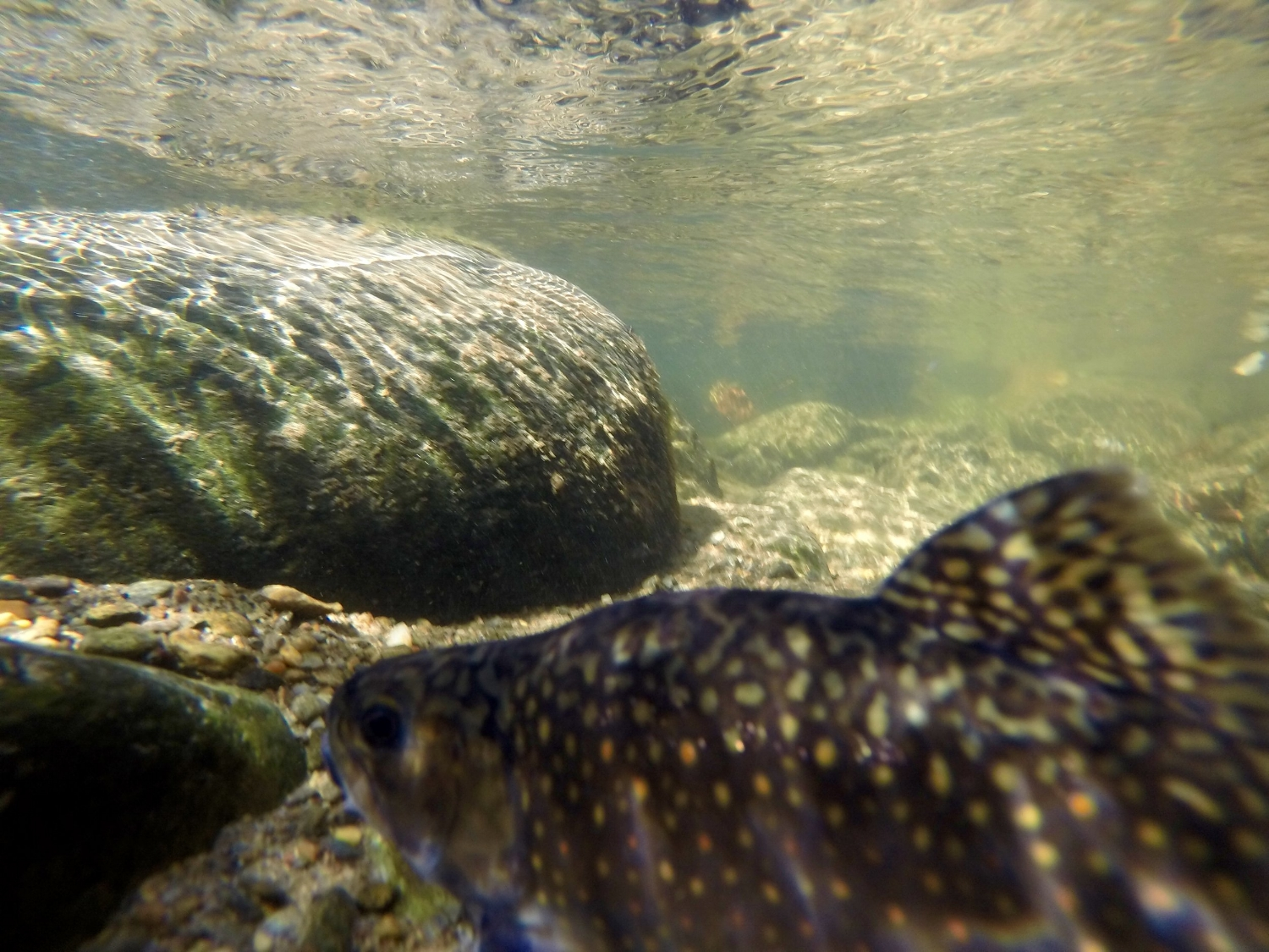Smoky Mountains, NC, brook trout