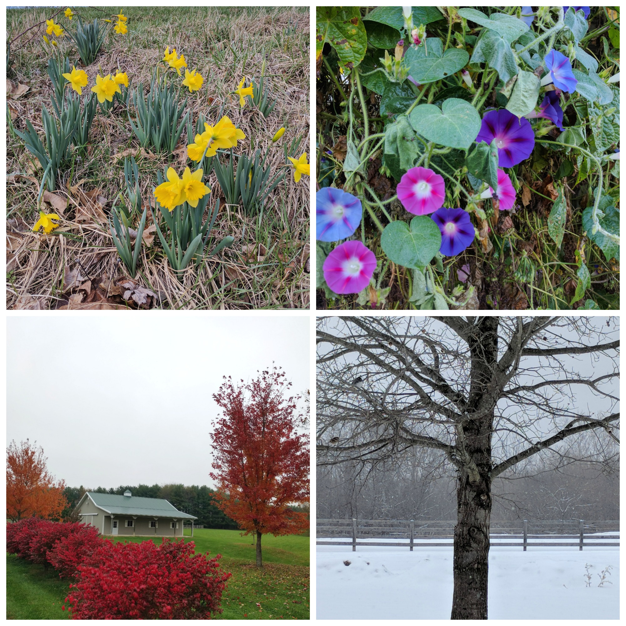 Four seasons at the roost. Spring Daffodils, Summer Morning Glories, Fall Leaves, and Snow. All of it is perfect.