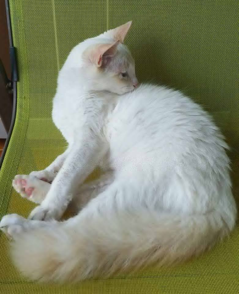 white fluffy tail cat.jpg
