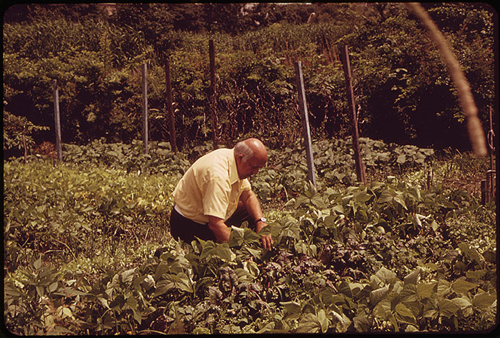 Caption:  A city farmer tends to his vegetables in the Fenway Gardens administered by the Fenway Civic Association. An outgrowth of the victory gardens of WWII, the association has 600 members who cultuvate a total of 425 garden plots in these five acres of metropolitan Boston.  Photographer:  Ernst Halberstadt  Date Created:  1973 August