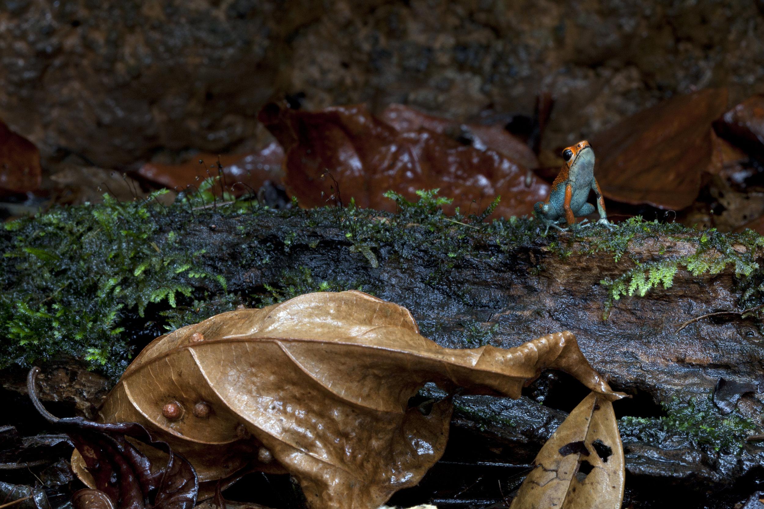 Poison Dart Frog, Costa Rican Amphibian Research Center, Costa Rica