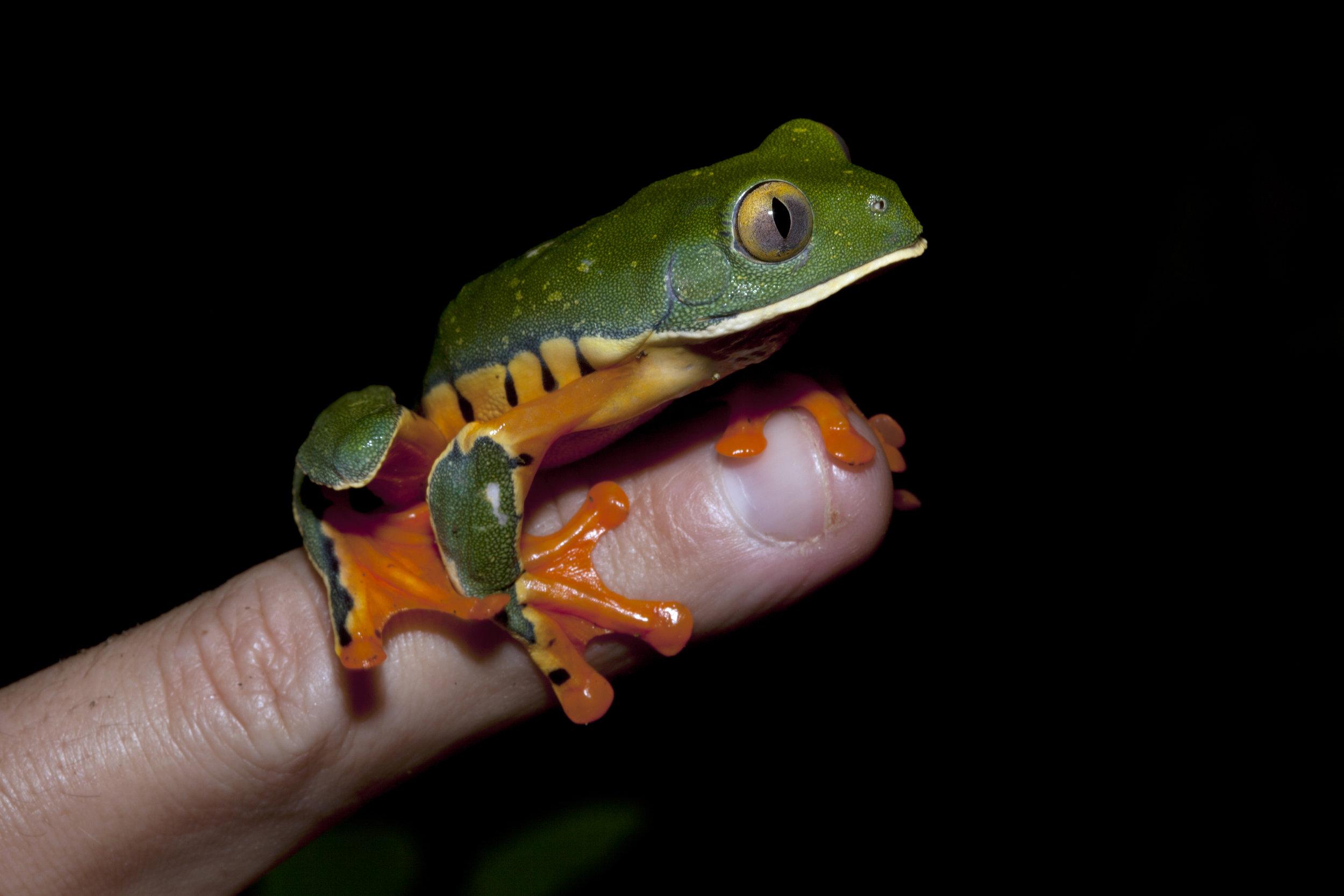 Agalychnis Calcarifer, Costa Rican Amphibian Research Center, Costa Rica
