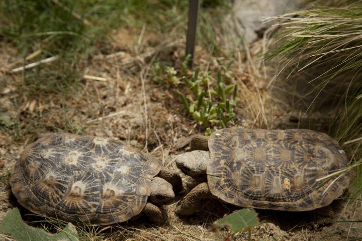 Pancake tortoise, Behler Chelonian Conservation Center, Ojai California