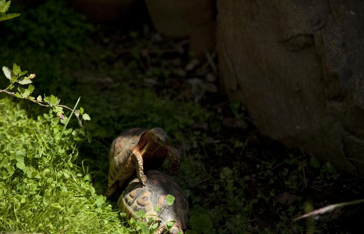 Bowspirt Tortoises mating, Behler Chelonian Conservation Center, Ojai California