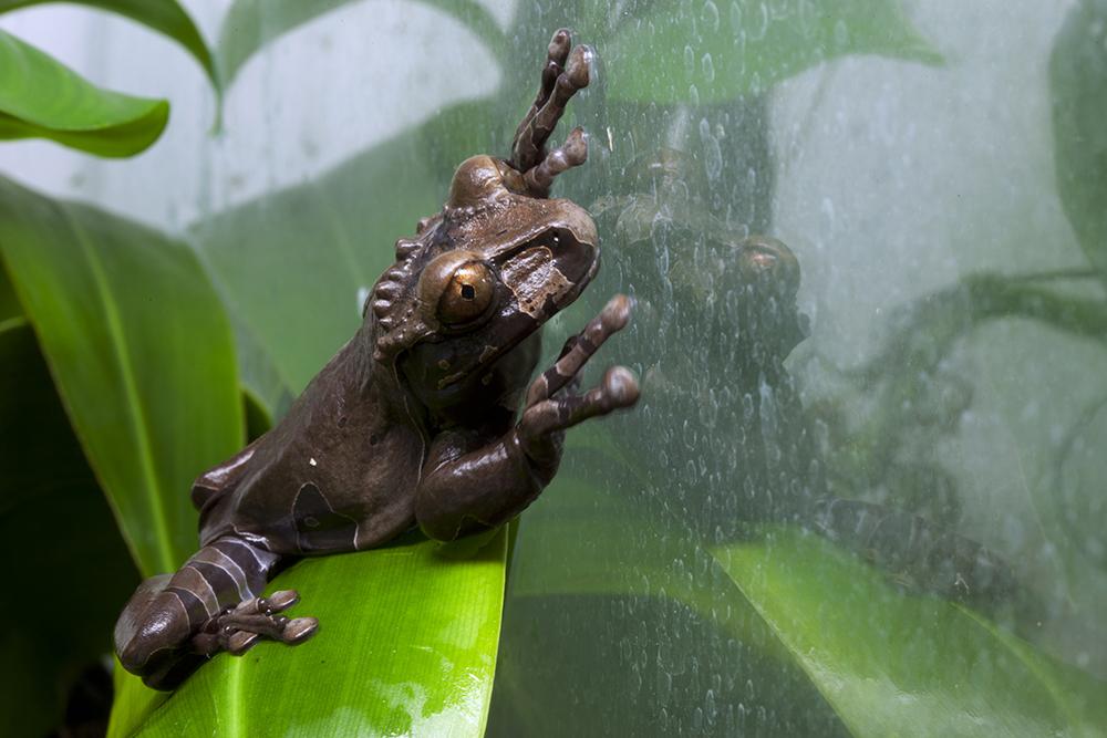 Spiny Headed Tree Frog (Anotheca spinosa)
