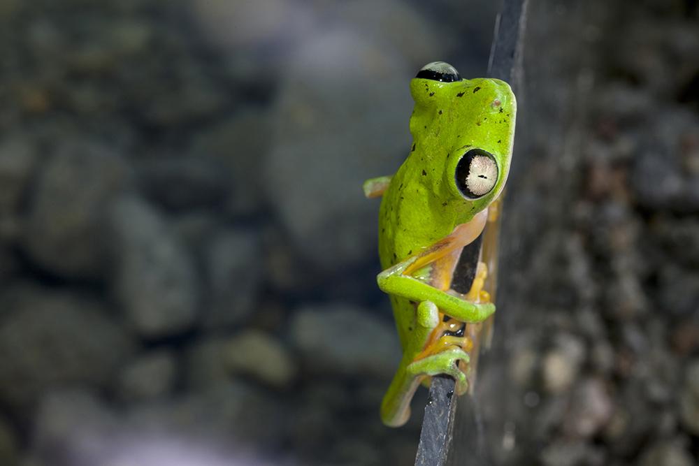 Lemur Leaf Frog, Phllomedusa lemur, EVVAC