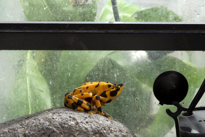 Panamanian Golden Frogs (Atelopus zeteki) in Amplexus