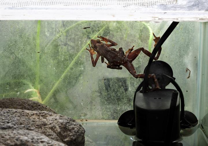 Harlequin Frogs (Atelopus limosus) matting EVACC