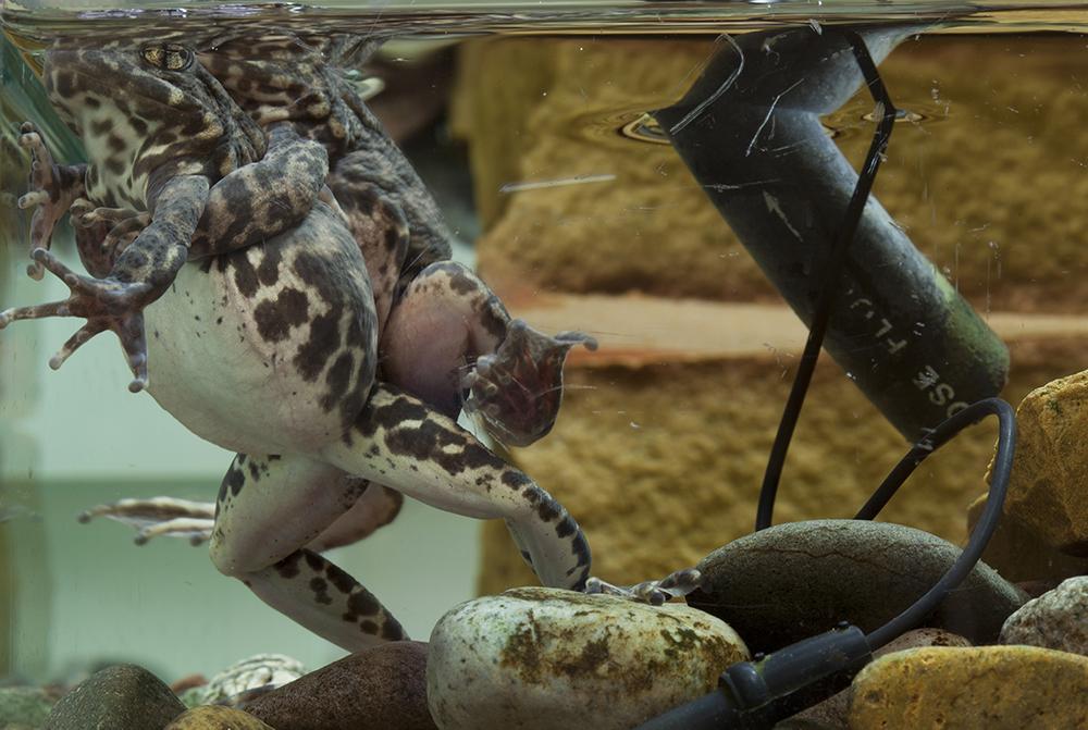 Southern Mountain yellow-legged frog (Rana muscosa), San Diego Zoo