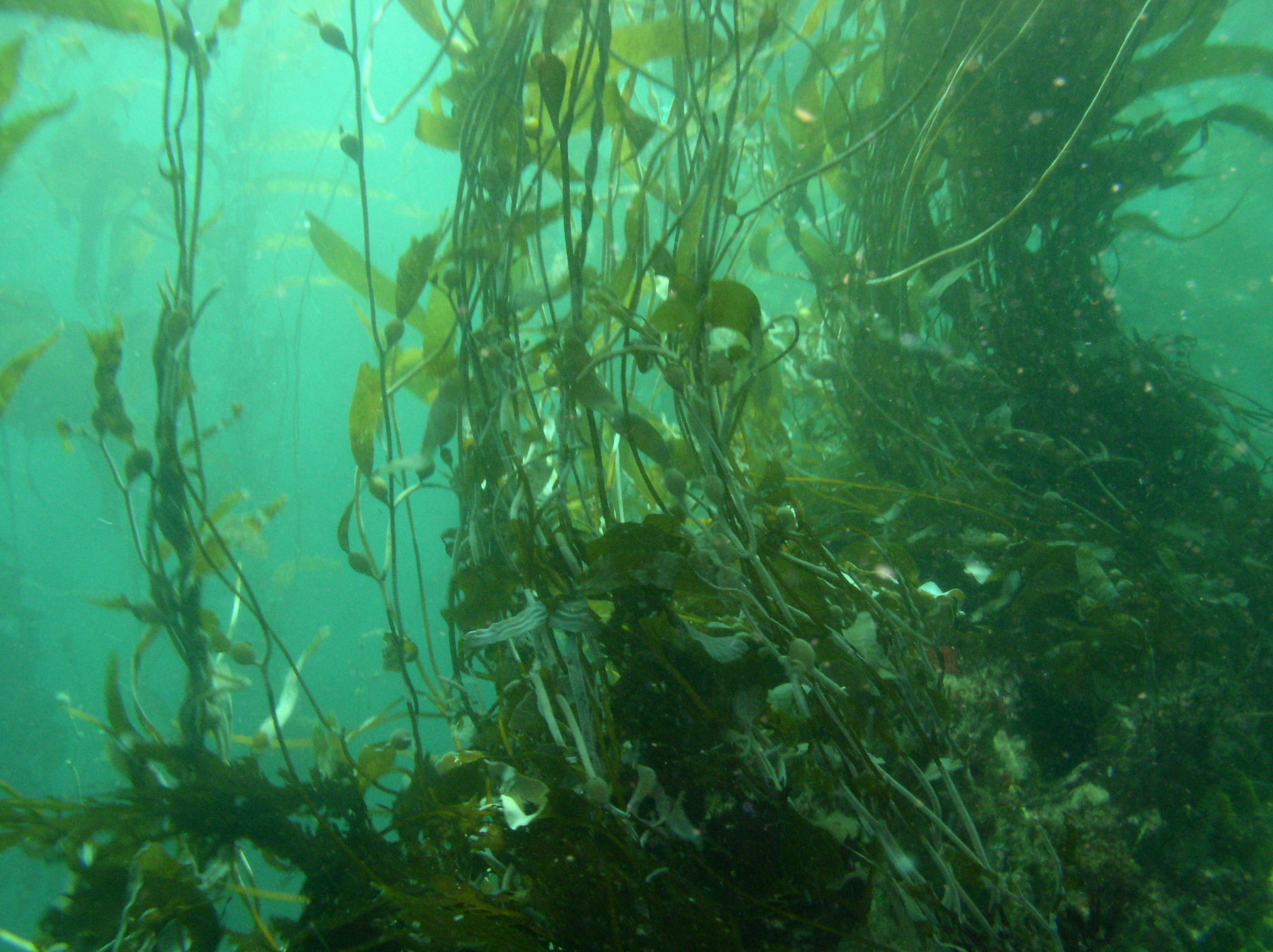 KELP FOREST ECOLOGY - Our work on fishery management and resilience are complemented by my other research on dynamics of nearshore ecosystems. In particular we study giant kelp population dynamics and net primary productivity, global patterns of kelp response to climate change, and mechanisms underlying abrupt state changes in temperate reef systems.