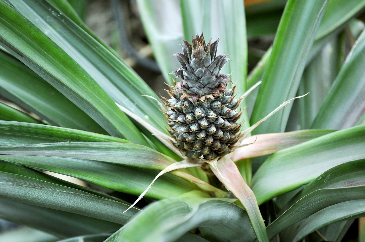 pineapple-1758677_1280.jpg
