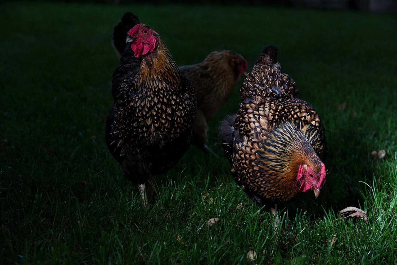 Chickens- Rockfield. 2015