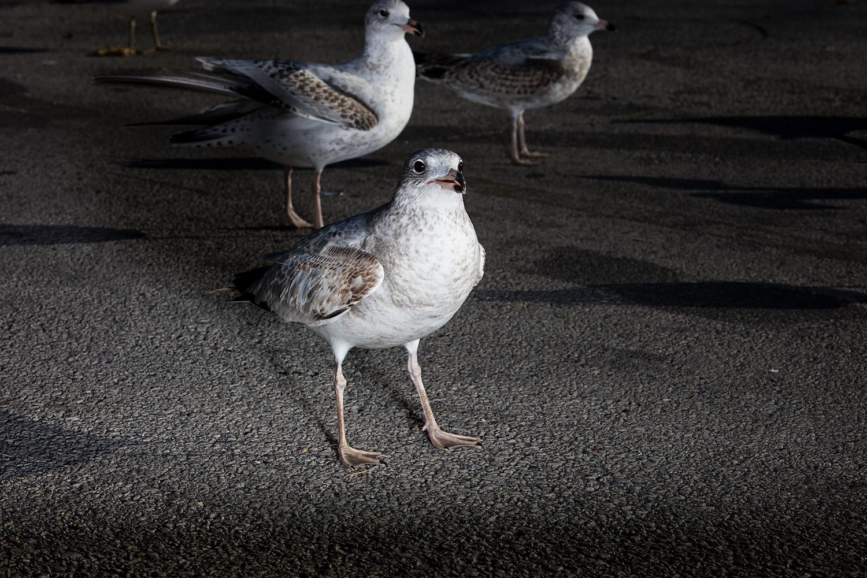 Seagulls- Milwaukee Lakefront. 2015