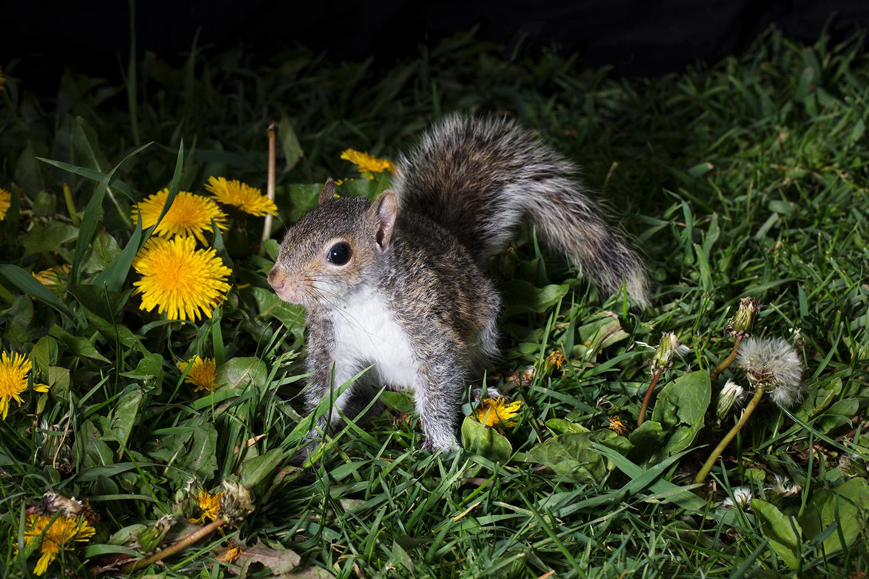 Squirrel- East Side. 2017