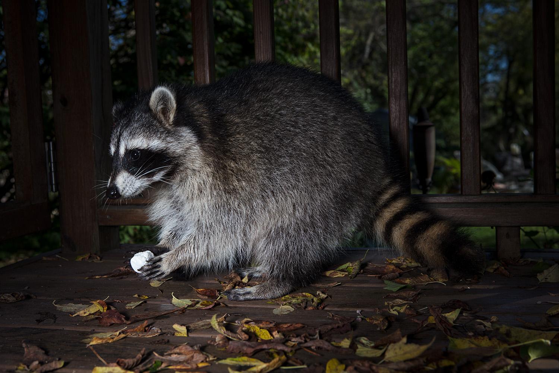 Raccoon- Middleton. 2017