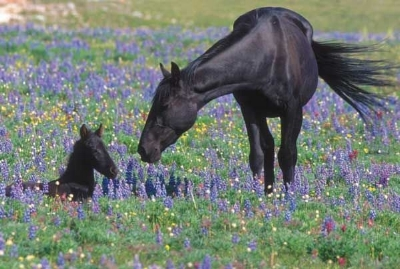 Pryor Mountain mare and foal