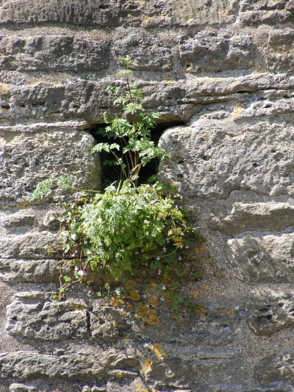 Plant growing in castle wall