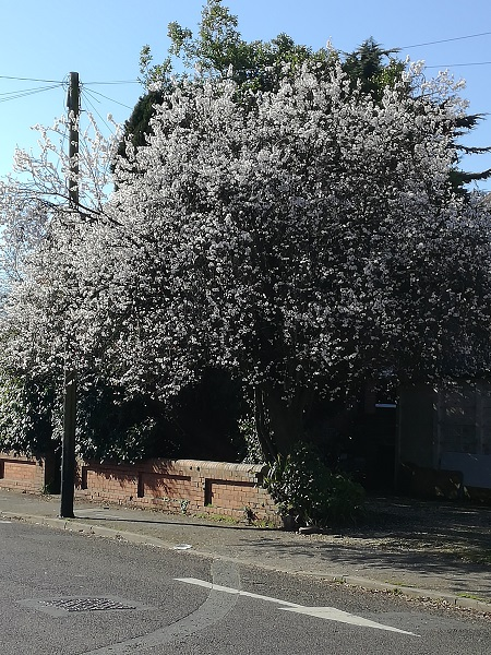 Blossom-laden tree