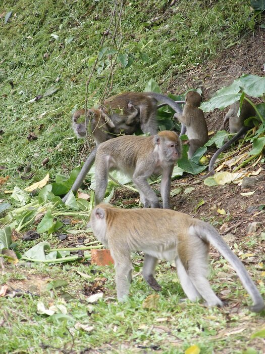 Long-tailed macaque monkeys