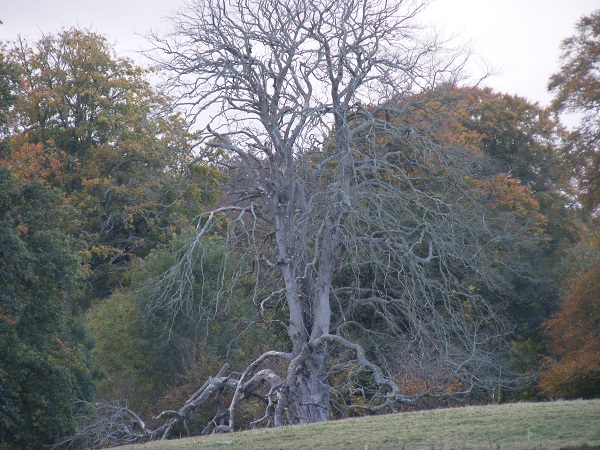 Gnarled tree in front of trees in autumn colours