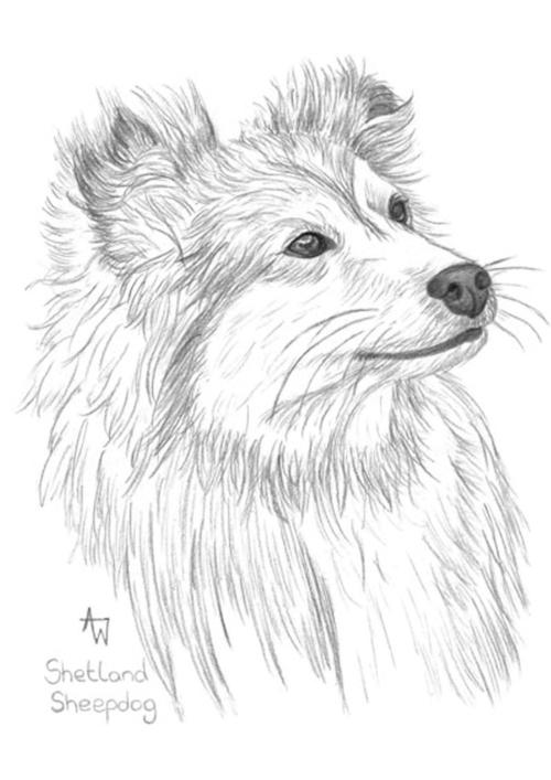 Shetland Sheepdog - Graphite pencils