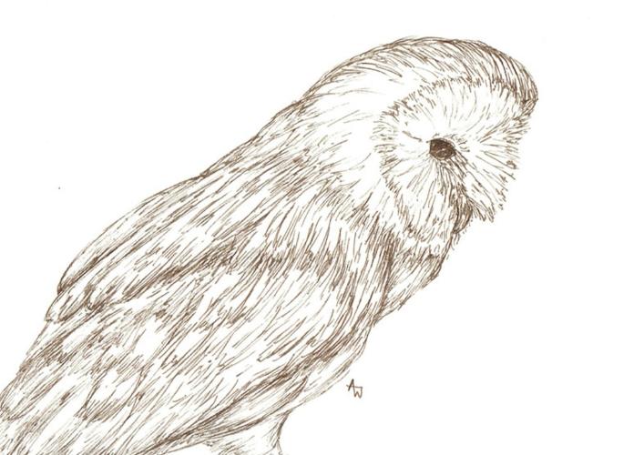 Barn Owl - Pen sketch
