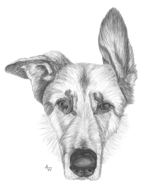 German Shepherd - A4 - - Graphite pencils