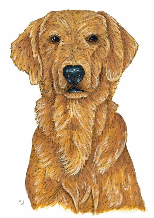 Lilly - Golden Retriever - A3 - Pen and Watercolour