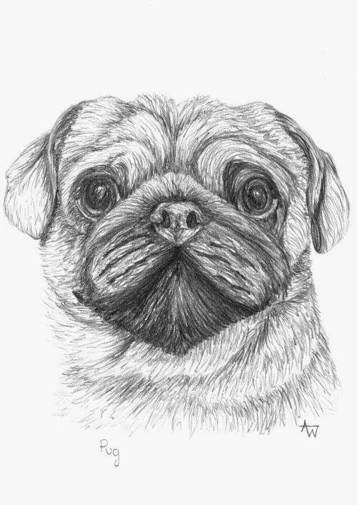Pug - - Graphite pencils